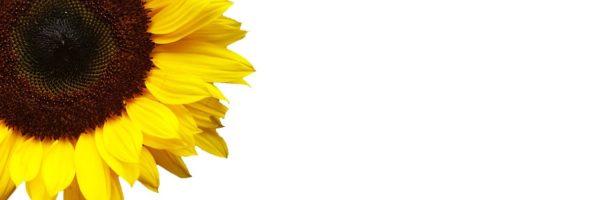 Free Sunflower Template 590x200